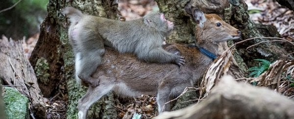 This monkey trying to have sex with a deer is a total trainwreck