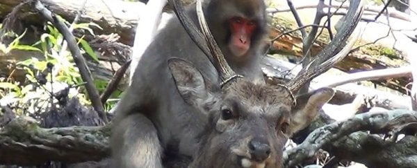 Monkeys trying to have sex with deer is a thing now, says study