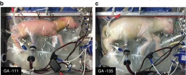 Researchers have successfully grown premature lambs in an artificial womb