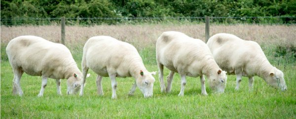 Scientists made 4 clones of Dolly the sheep - here's what happened to them all