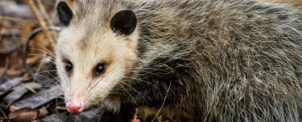 WATCH: Opossum mum casually carries 15 babies on her back