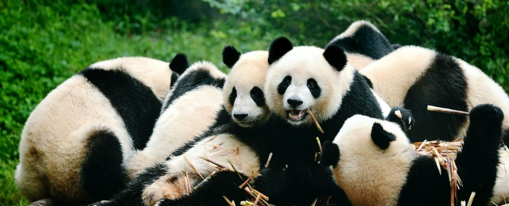 extinction of giant panda Giant pandas come from a large flourishing family of same species they were once widely distributed over sixteen provinces and regions in eastern and southern china, as well as in certain regions in neighbouring countries such as burma and vietnam.