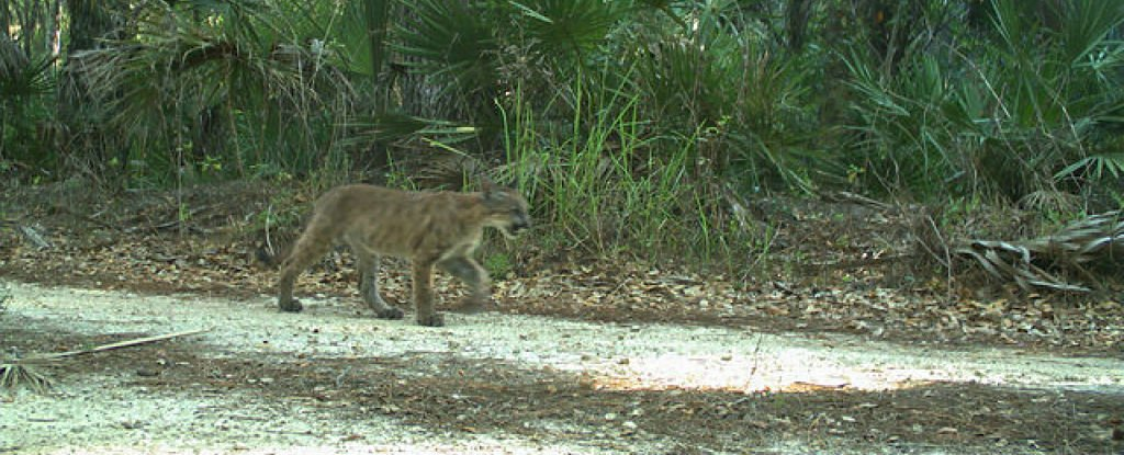 Panther Kittens Have Been Seen Outside Their Florida Territory For The First Time Since 1973