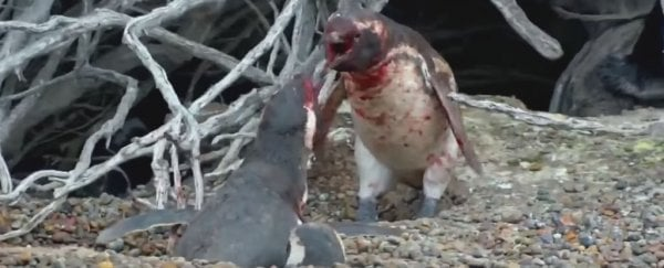 Nat Geo Just Captured This Bloody Penguin Battle, And It's