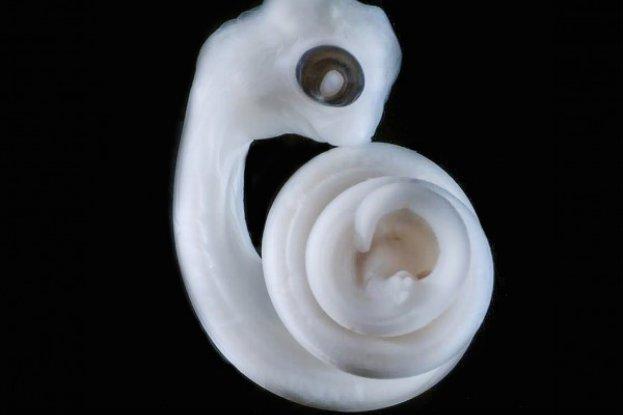 Mammalian penis orgin