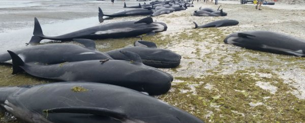 "New Zealand beach closed amid fears of hundreds of ""exploding whales"""