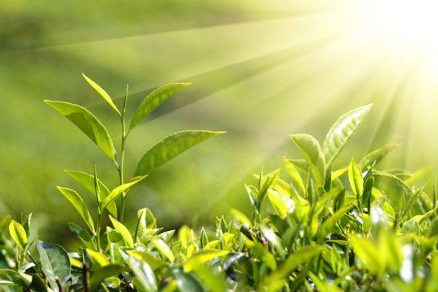 Chlorophyll in plants for kids