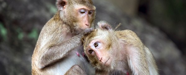 Not So Unique? A Key Feature of the Human Brain Has Just Been Found in Monkeys