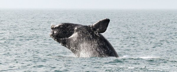 Officials say this whale species could become extinct after a devastating year