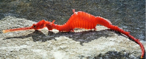 Incredibly rare ruby sea dragon has been caught on camera for the first time