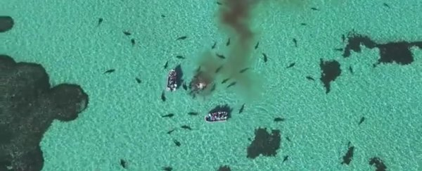 WATCH: Drone captures this brutal 70-shark feeding frenzy