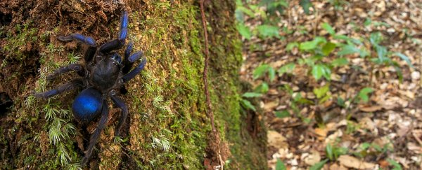 A stunning blue tarantula and its friends were just discovered in South America
