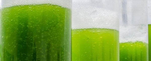 Scientists have developed a power cell that harnesses electricity from algae