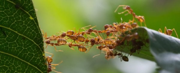 First-ever mutant ants have been raised, and they have a messed up social life