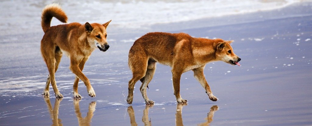 Dingoes May Have Actually Migrated To Australia Twice