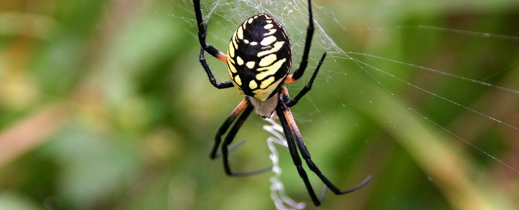 Silk Spun by Graphene-Fed Spiders Is Now One of The Strongest Materials on Earth