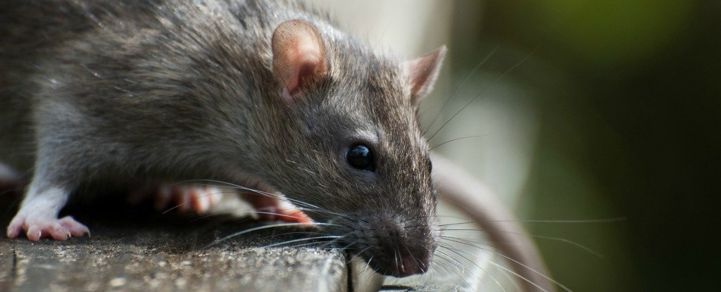 This Newly Discovered Giant Rat Species Is So Huge It