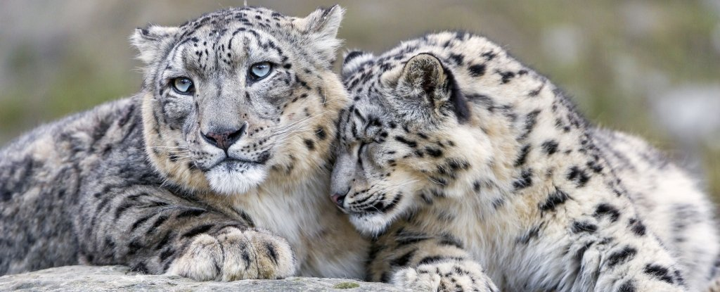 The snow leopard was just declared no longer officially endangered