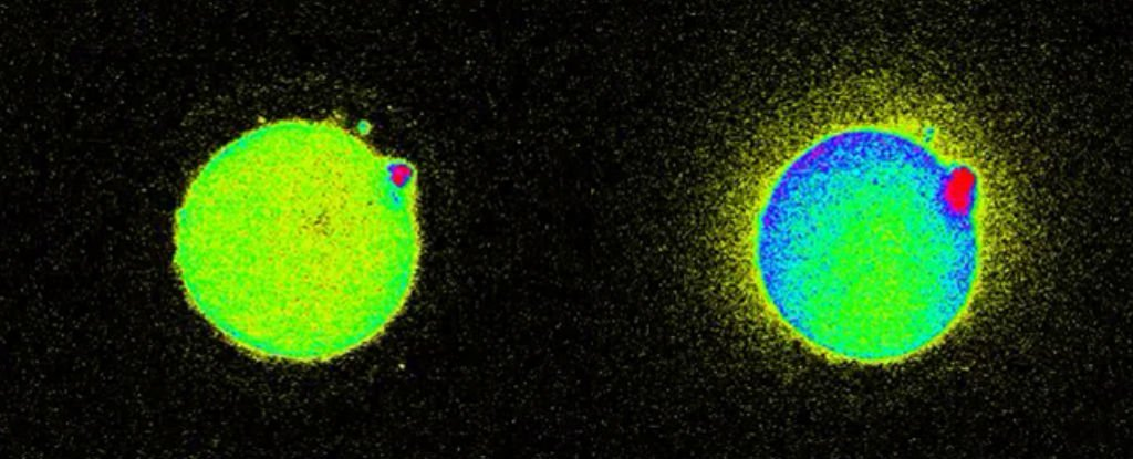 Scientists Just Captured The Flash of Light That Sparks When a Sperm Meets an Egg