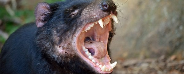 Tasmanian devils are rapidly evolving resistance to contagious cancer
