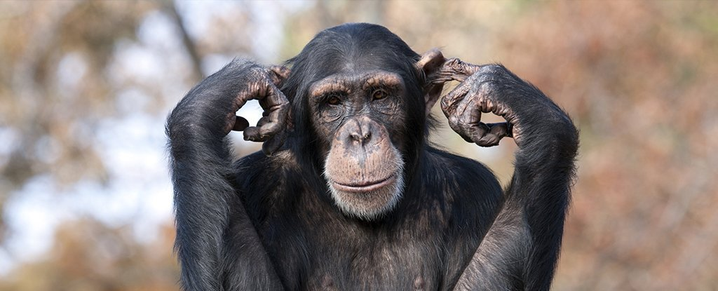 The Secret to Chimpanzee Super-Strength Has Finally Been Revealed