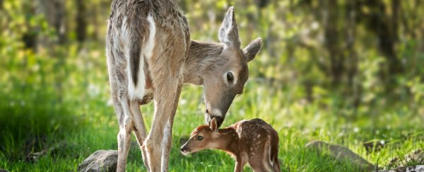 Nearly 25% of white-tailed deer on America's East Coast have malaria