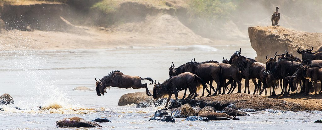 The Thousands of Serengeti Wildebeest That Drown Each Year Serve a Greater Purpose