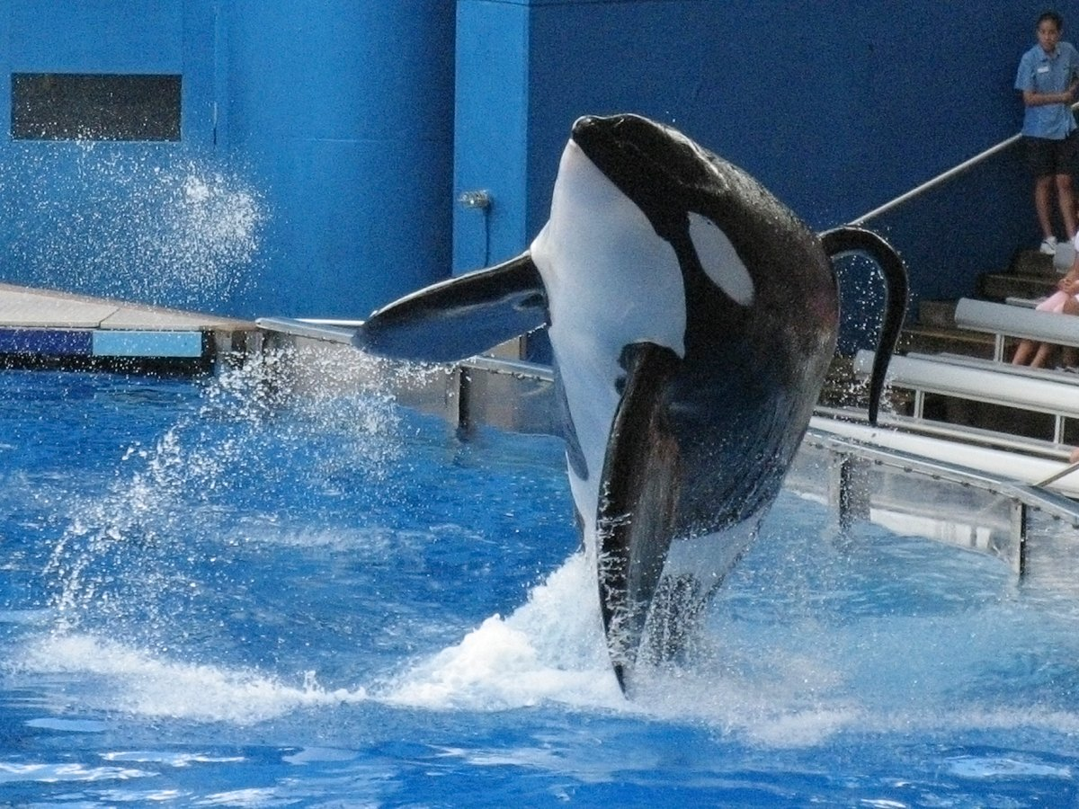 in-2013-the-companys-handling-of-killer-whales-came-into-question-after-the-circulation-of-blackfish-the-documentary-centered-on-an-orca-named-tilikum-who-killed-a-trainer-in-front-of-a-live-audience-in-2010