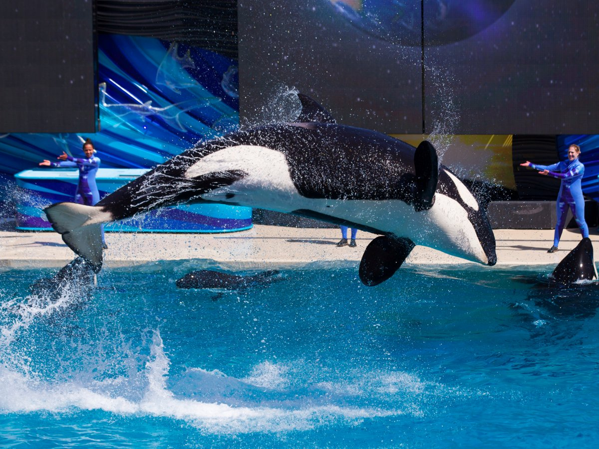 in-2014-seaworld-pledged-to-build-larger-environments-for-its-orcas-and-fund-more-wildlife-research