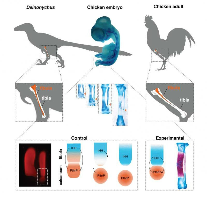 Scientists have grown 'dinosaur legs' on a chicken for the first time