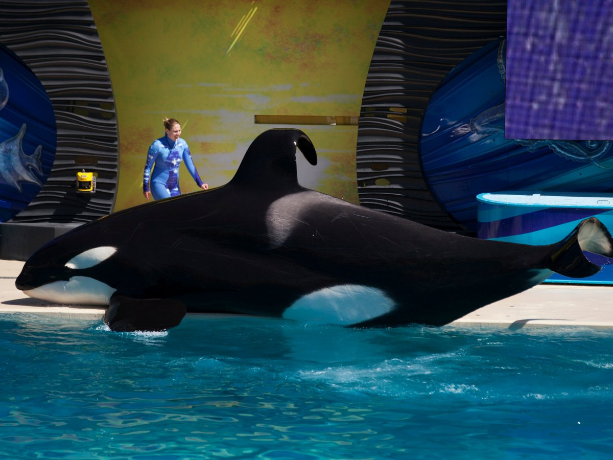 now-that-it-is-done-with-its-orca-breeding-program-seaworld-said-it-planned-to-keep-all-existing-orcas-in-its-habitats-so-there-will-most-likely-still-be-orcas-in-the-parks-for-the-next-few-decades-orcas-live-up-to-50-years-and-one-whale-is