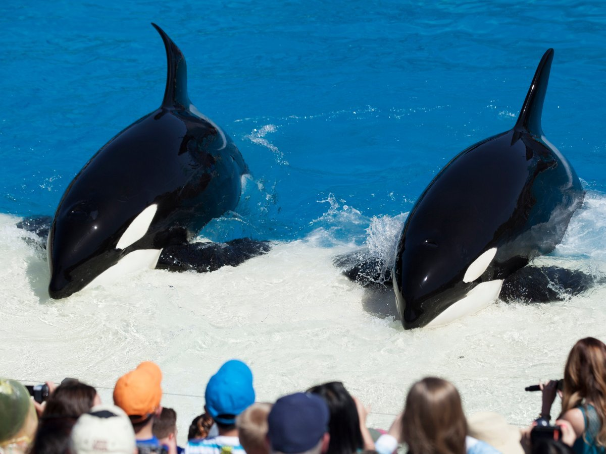 since-the-documentarys-premiere-seaworld-and-its-partners-have-felt-pressure-from-activists--and-declines-in-attendance--to-change-their-orca-programs