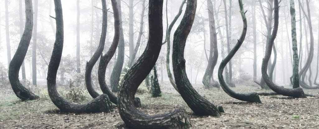 There's a Forest in Poland Filled With Crooked Trees, And No One Can Explain Why