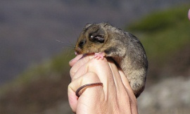 Australian_Alps_Flickr_-_mountain_pygmy_possum