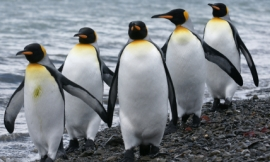 serengeti130_-_king_penguins