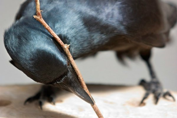 BehaviouralEcologyResearchGroup_crow_Oxford