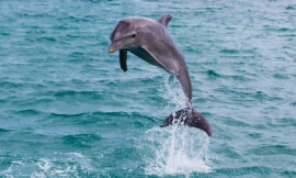 FDS111_-_leaping_dolphin