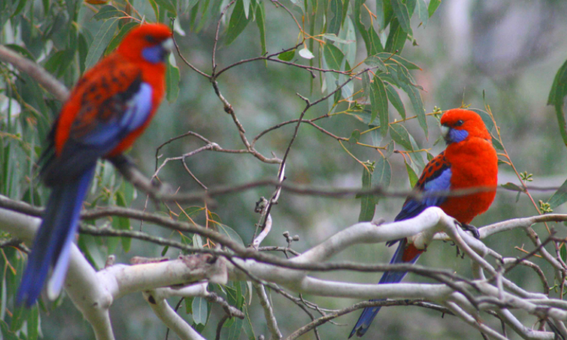 LauraRayner_CrimsonRosellas