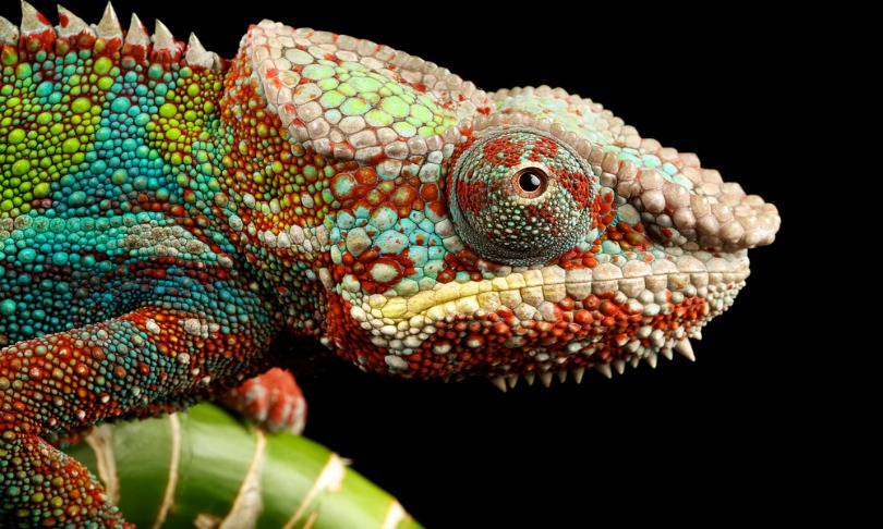 Mark-Bridger_chameleon_shutterstock