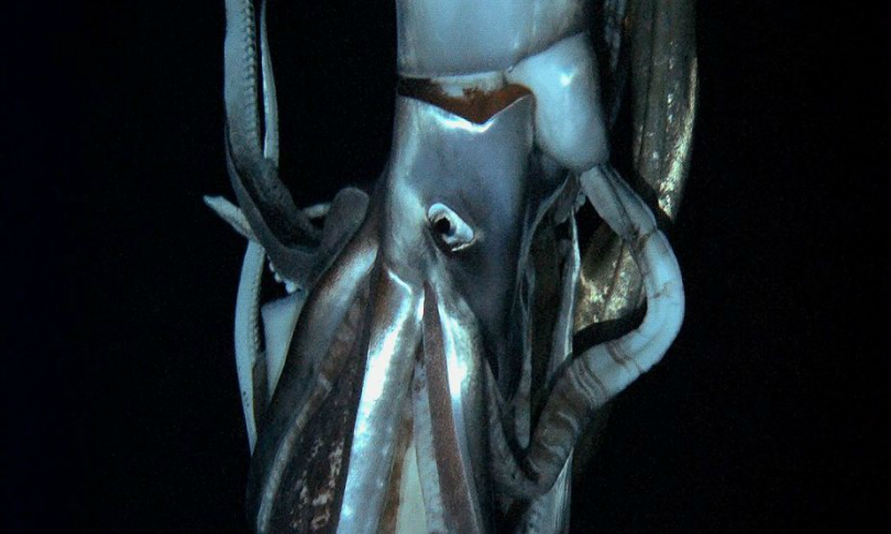 NHKNEPDiscovery_Channel_giant-squid