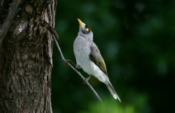 Noisy_Miner_RichardFuller