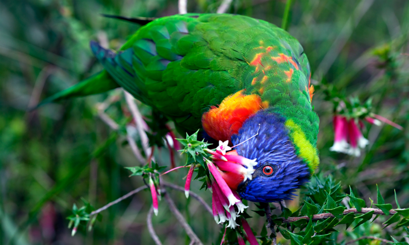 Peter_Waters_Lorikeet_shutterstock