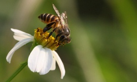 leemt2_Flickr_-_Asian_honeybee