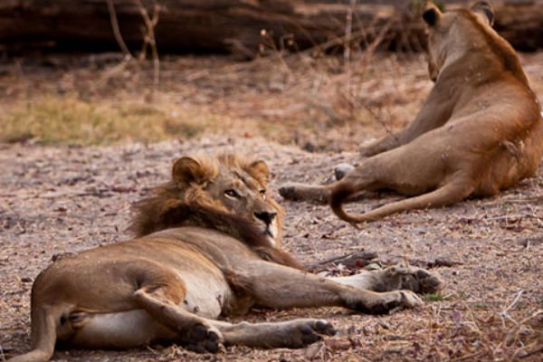 Why Do These Lionesses In Botswana Have Manes