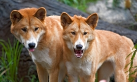 nimu1956_-_dingoes