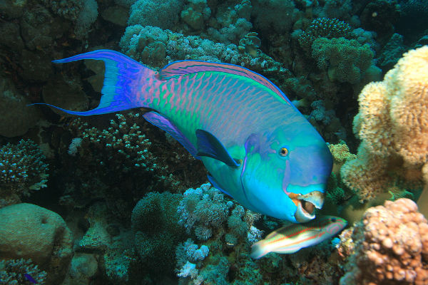 parrotfish-unsw