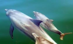 shark_bay_dolphin_scooter_leads_her_calf_harley_with_friend_close_by._photo_courtesy_amanda_coates_and_janet_mann.jpg
