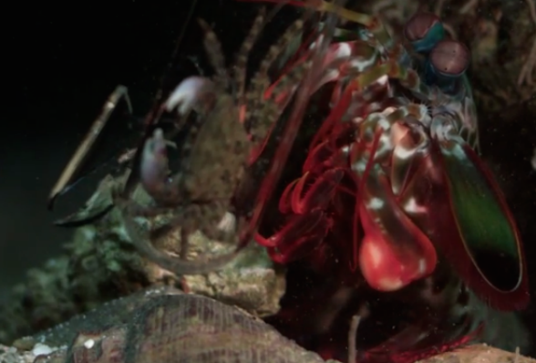 WATCH: Mantis Murder Shrimp (Slow Motion)